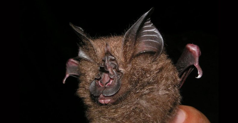 Francis-woolly-horsehoe-bat