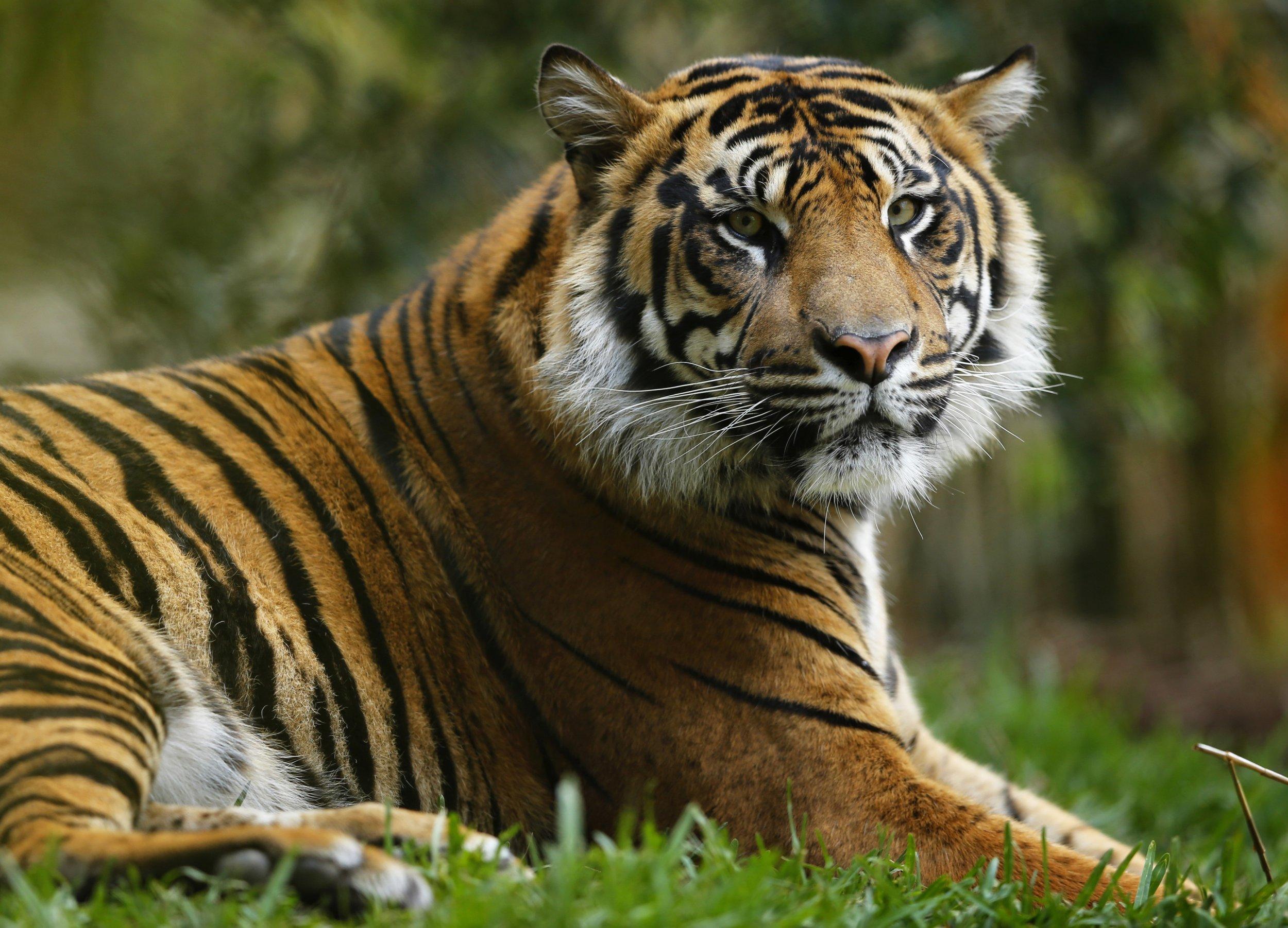 1102_Tiger_attack_01