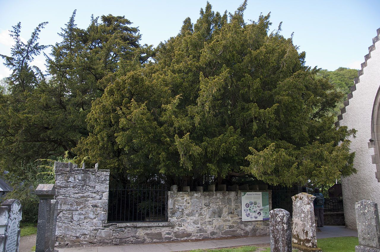Fortingall-yew-tree-perthshire-scotland
