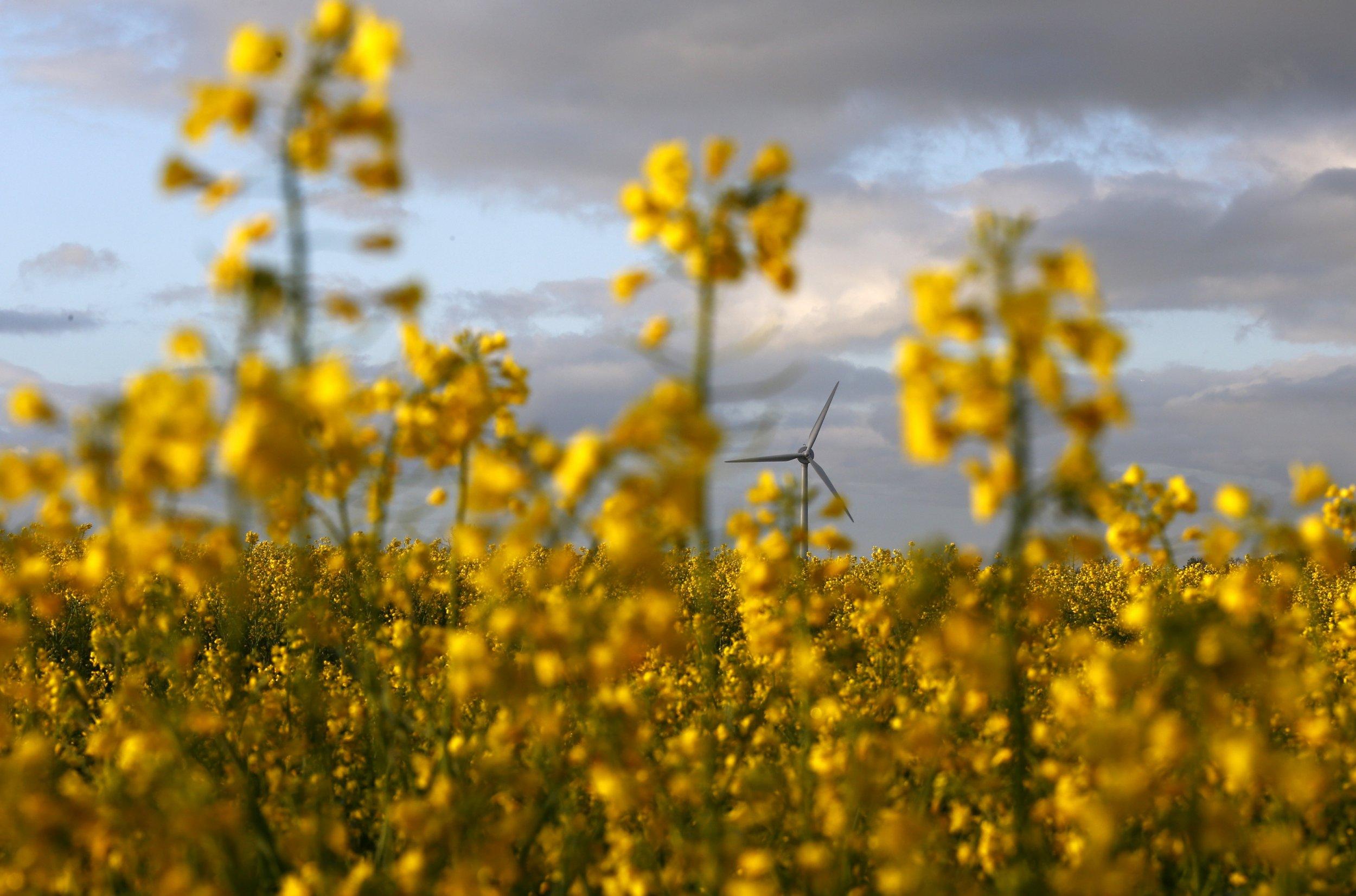 wind-turbine-oilseed-field