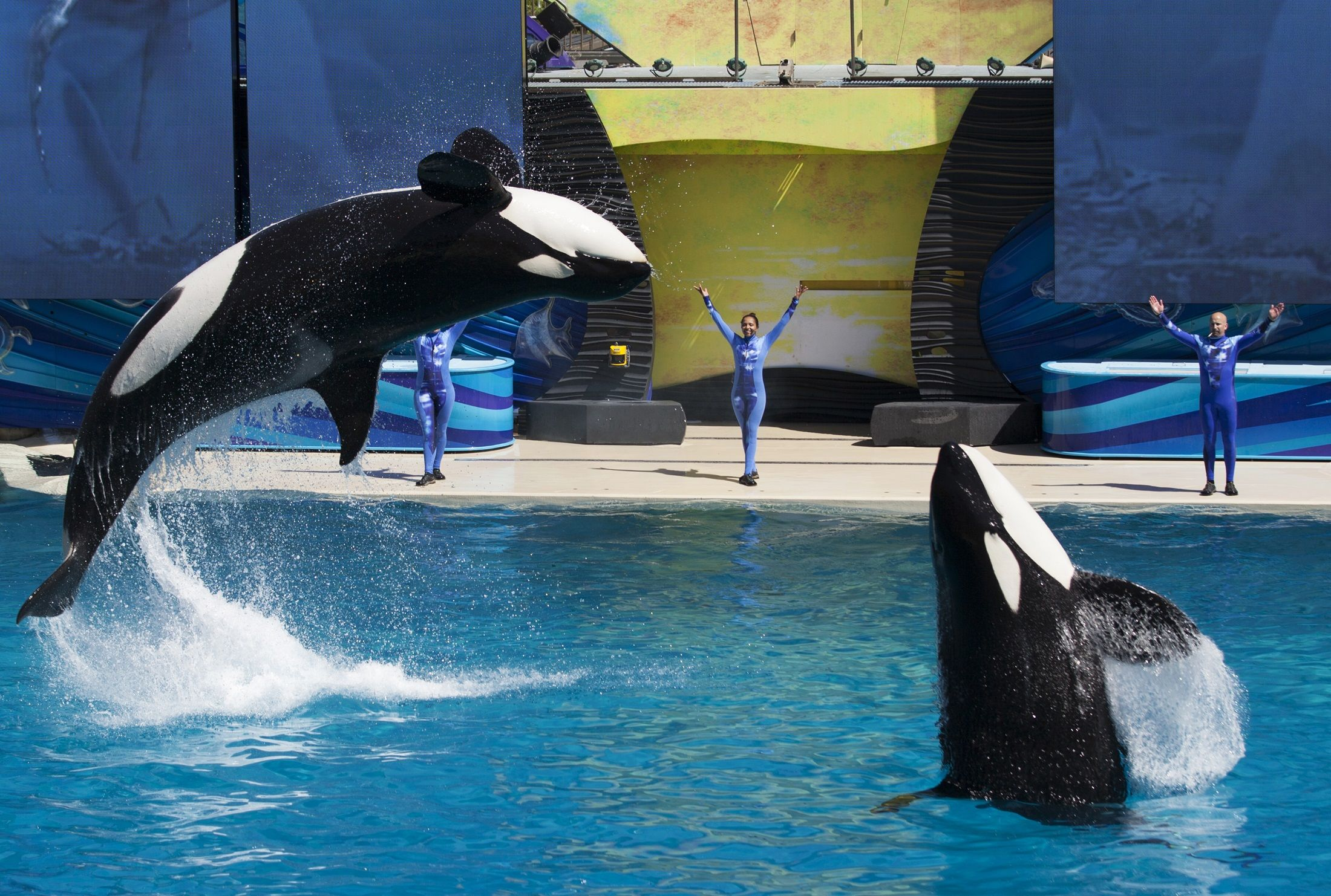 whales life on entertainment parks essay Captivity of killer whales  are being deprived of necessary items that are causing them to have shorter life spans  whales kept at marine mammal parks,.