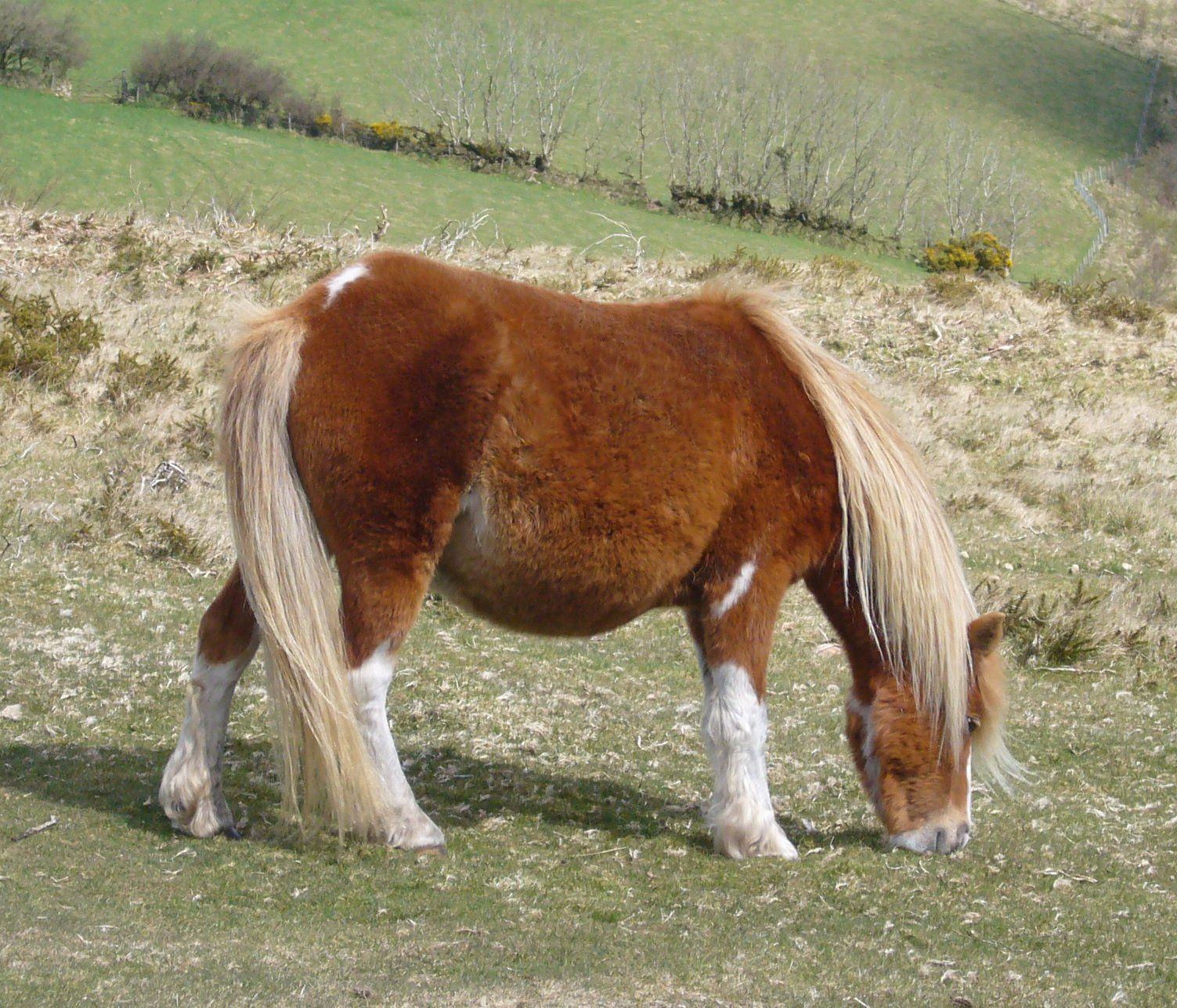 Dartmoor_pony_2