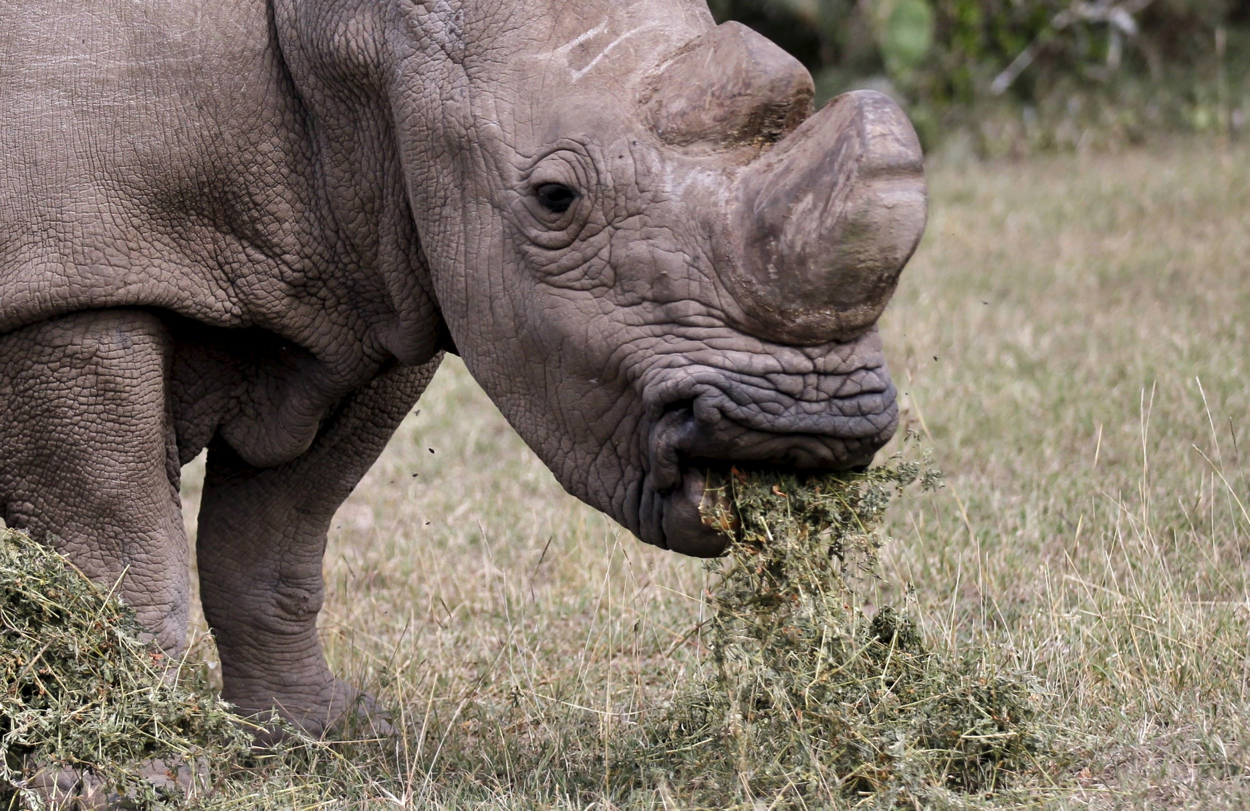 Only 3 Northern White Rhinos Left On Earth After The Death
