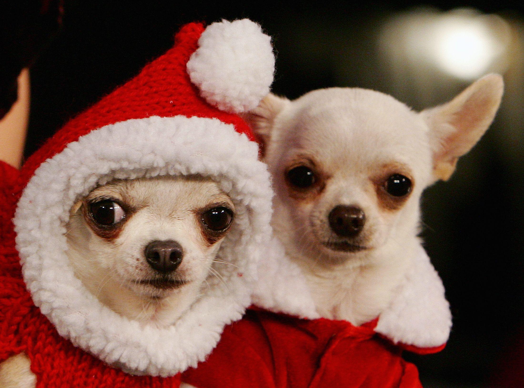 11_25_Christmas Dogs