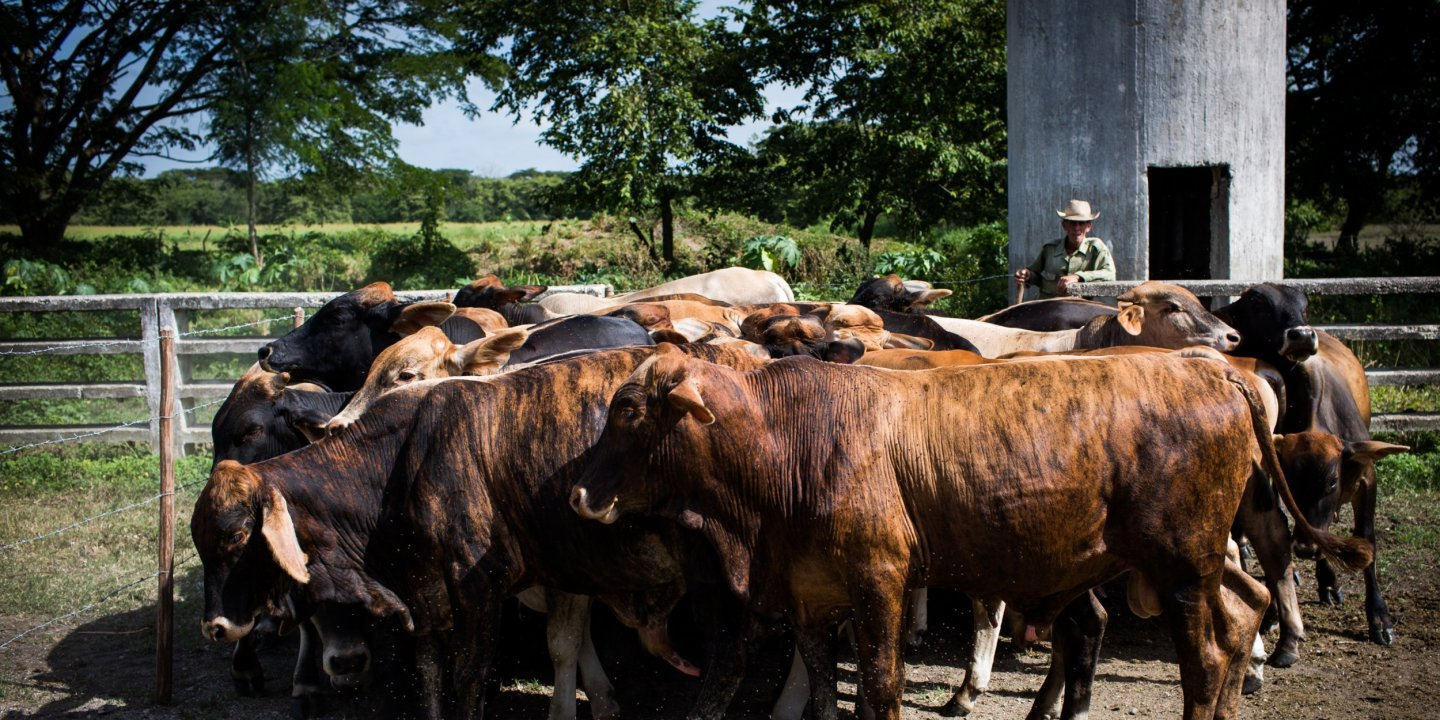 For Once Join Herd >> Cows Capitalism And The Future Of Cuba