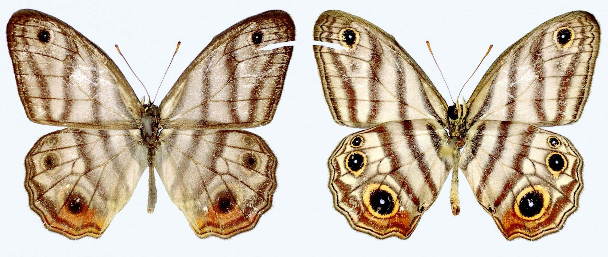 Attenboroughs-black-eyed-satyr-buterfly