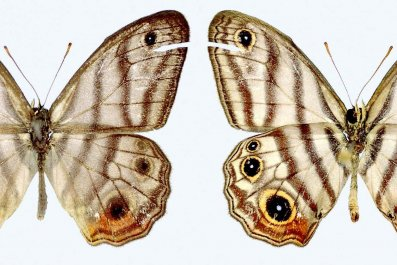 Attenboroughs-black-eyed-satyr-buterfly