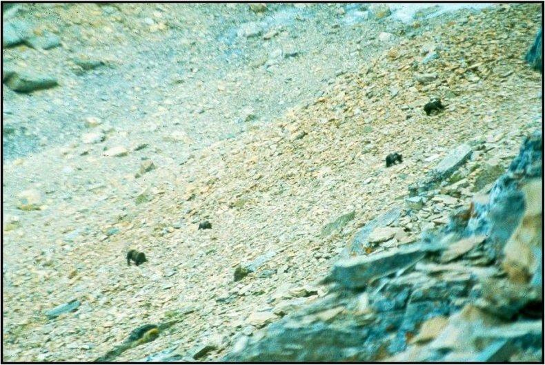 Bears on Vulture Peak, GNP