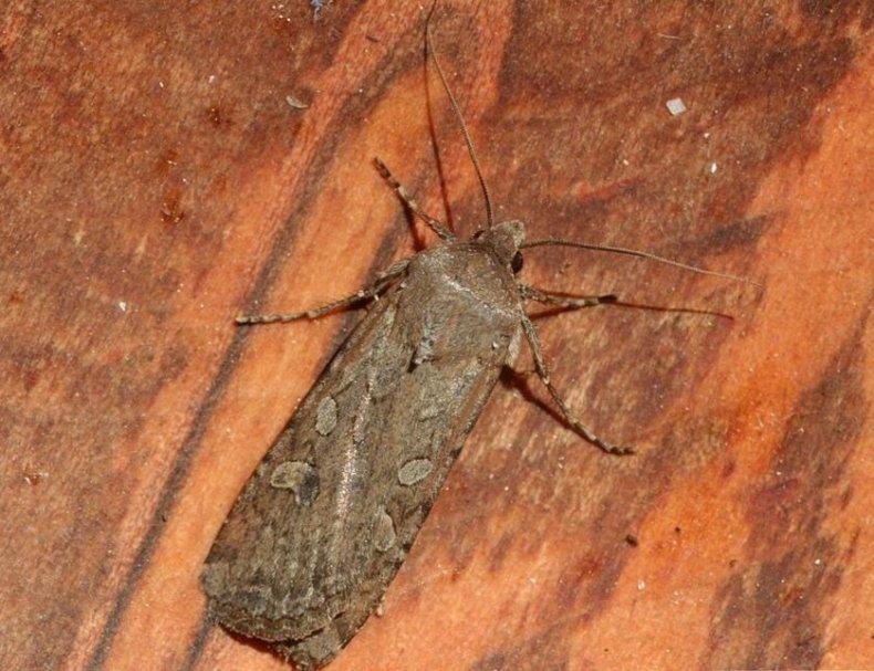 army-cutworm-moth-miller-moth