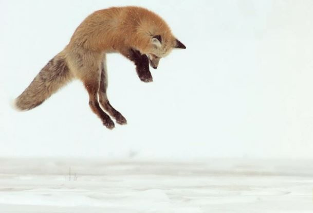 yellowstone-fox