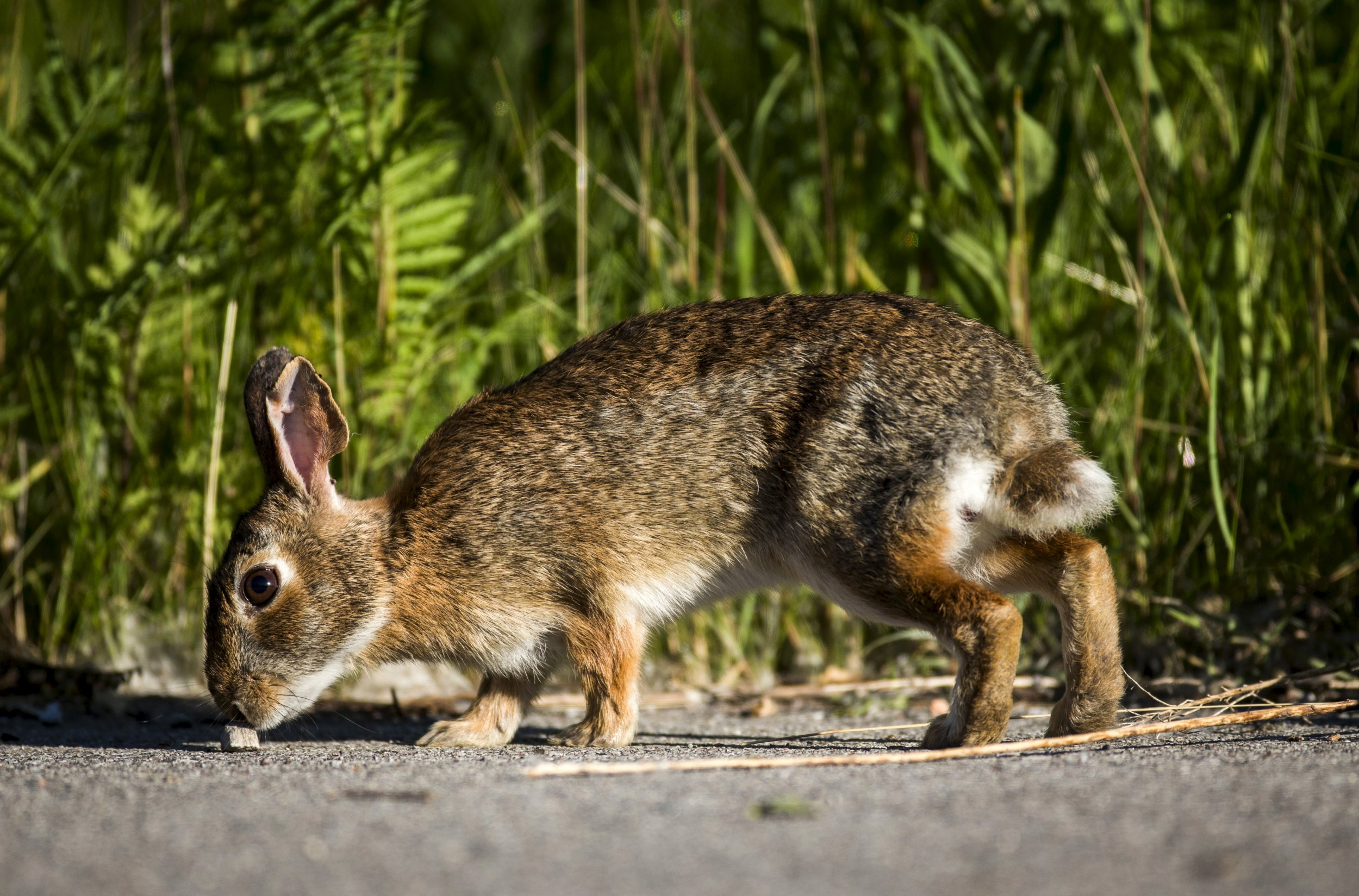 Rabbit Fever on the Rise in the U.S.