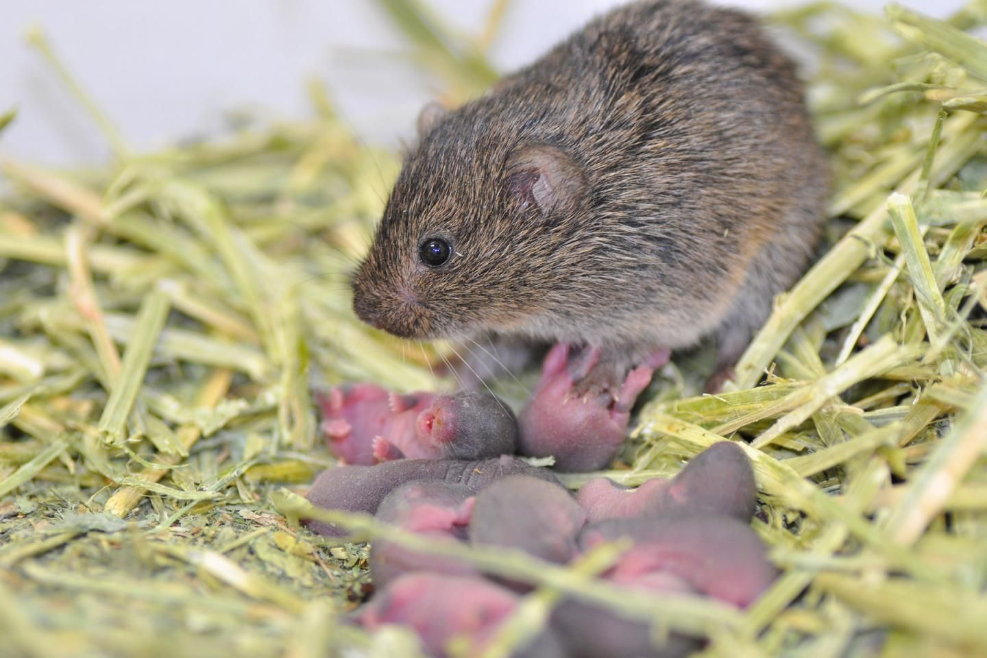 female-prairie-vole