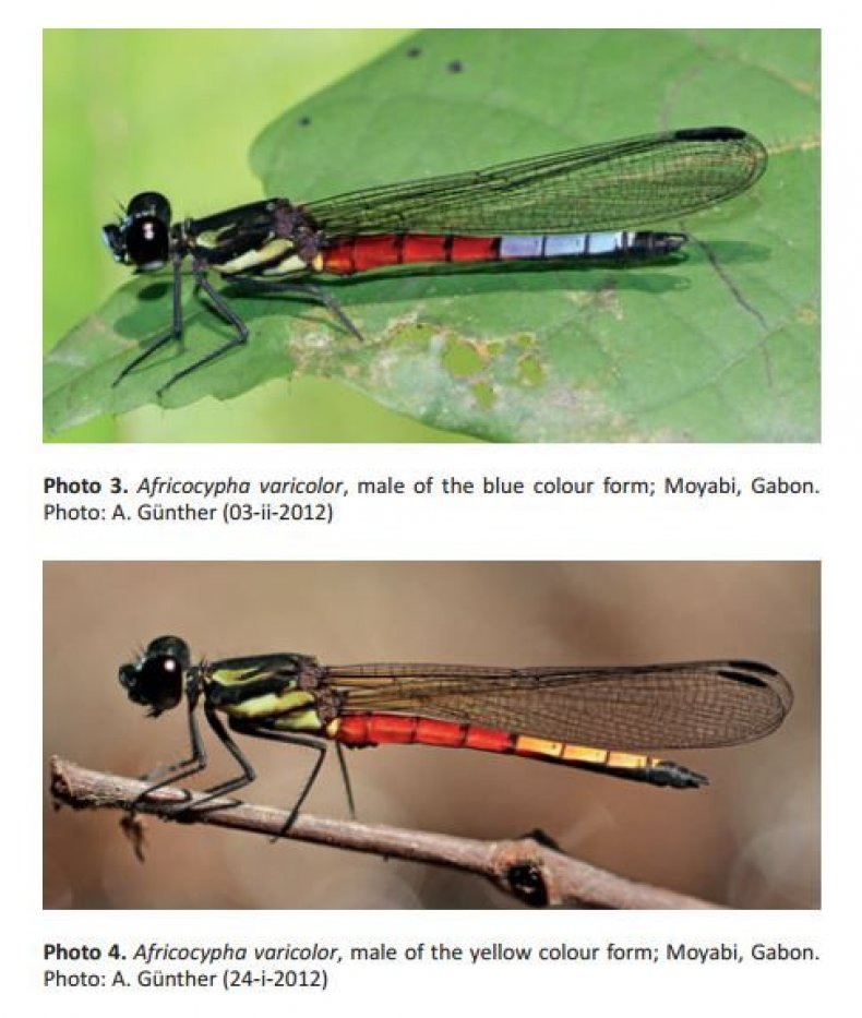 dragonflies-1