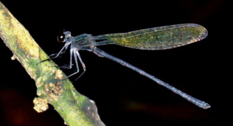 Pentaphlebia-mangana-black-relic
