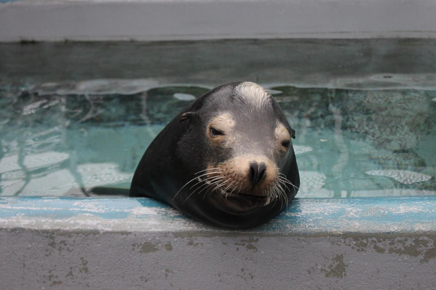 sea-lion-in-pool
