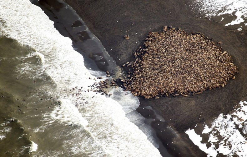 Walruses clustered on land in Alaska