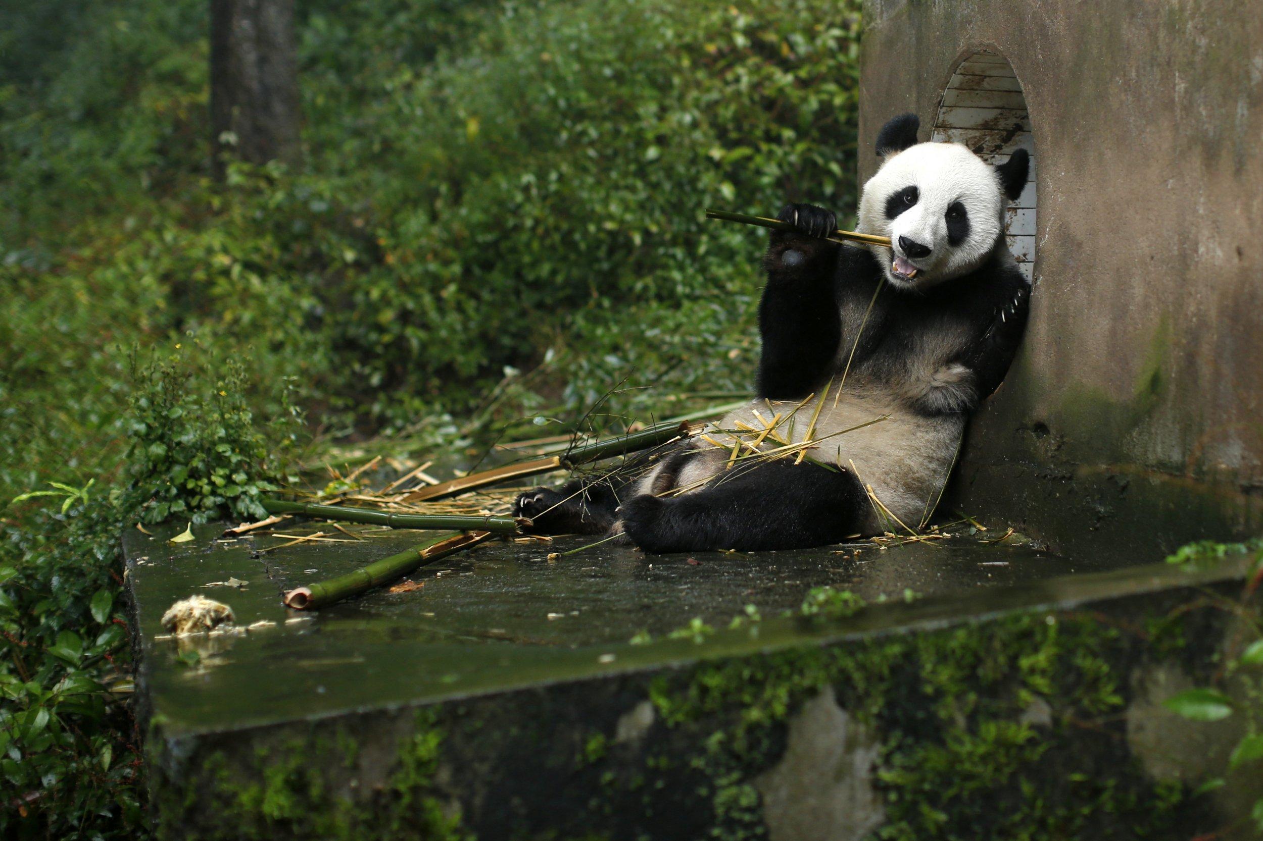 1216_Panda Breeding