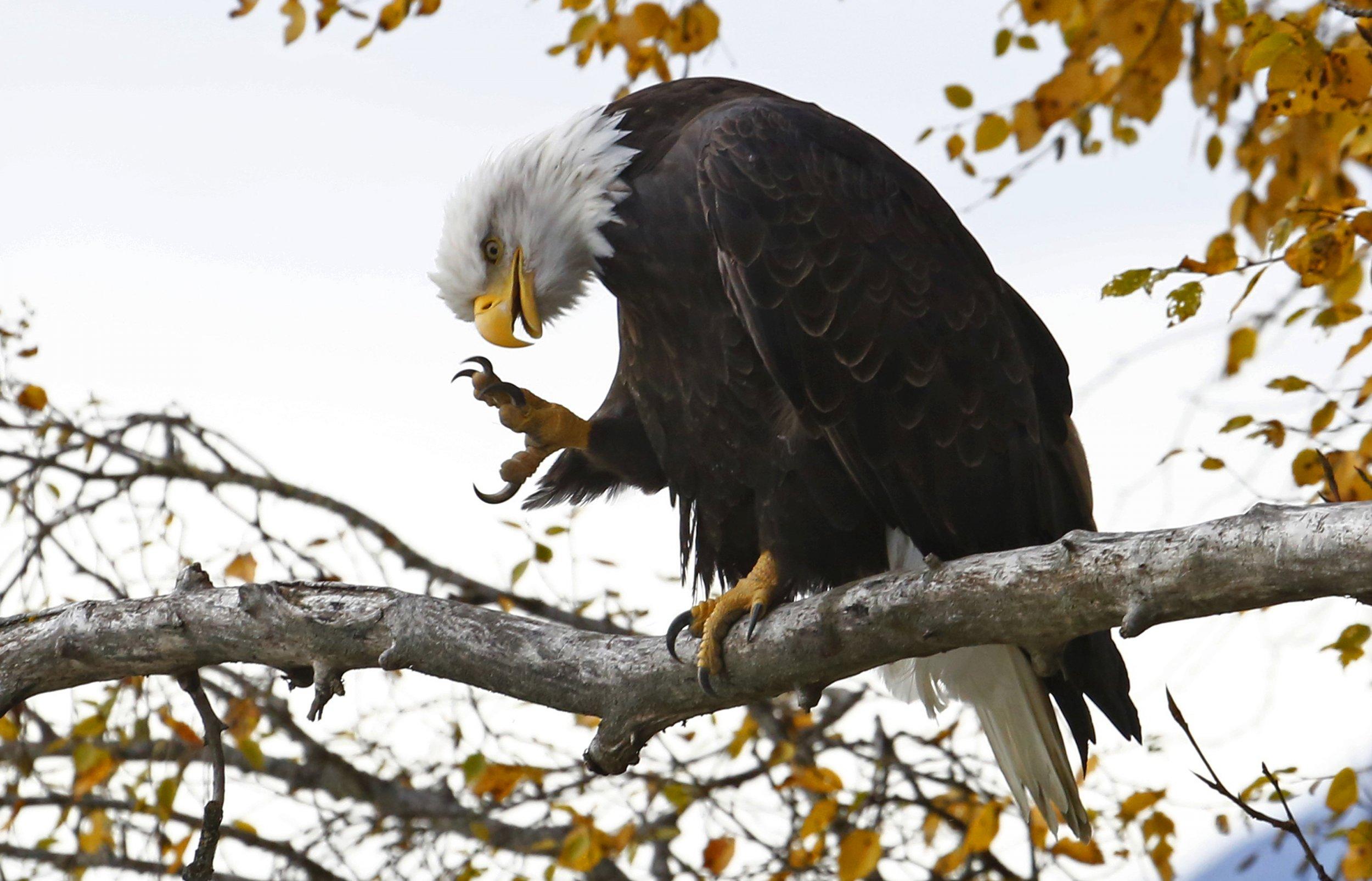 bald-eagle.16december2015