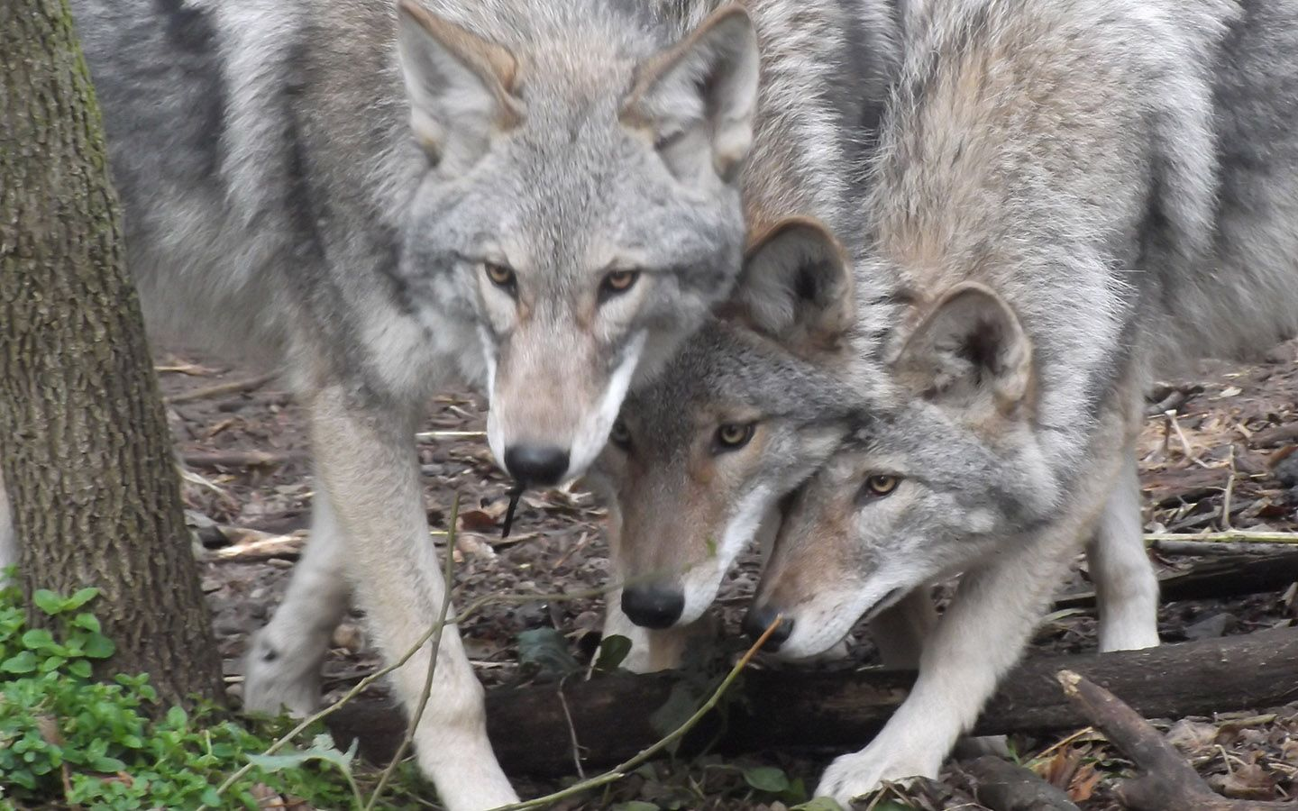 Wolf hybrid puppies for sale in ohio - 01_01_coywolf_01