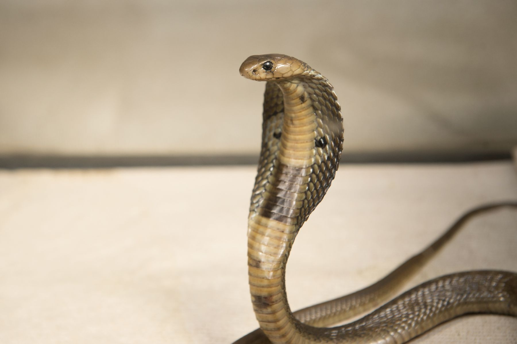 Venomous Cobra Recovering After Hitching A Ride On Container Ship To