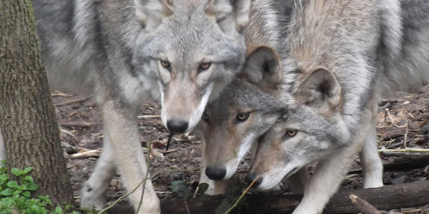 Part Coyote, Part Wolf, Part Dog: Enter the Coywolf