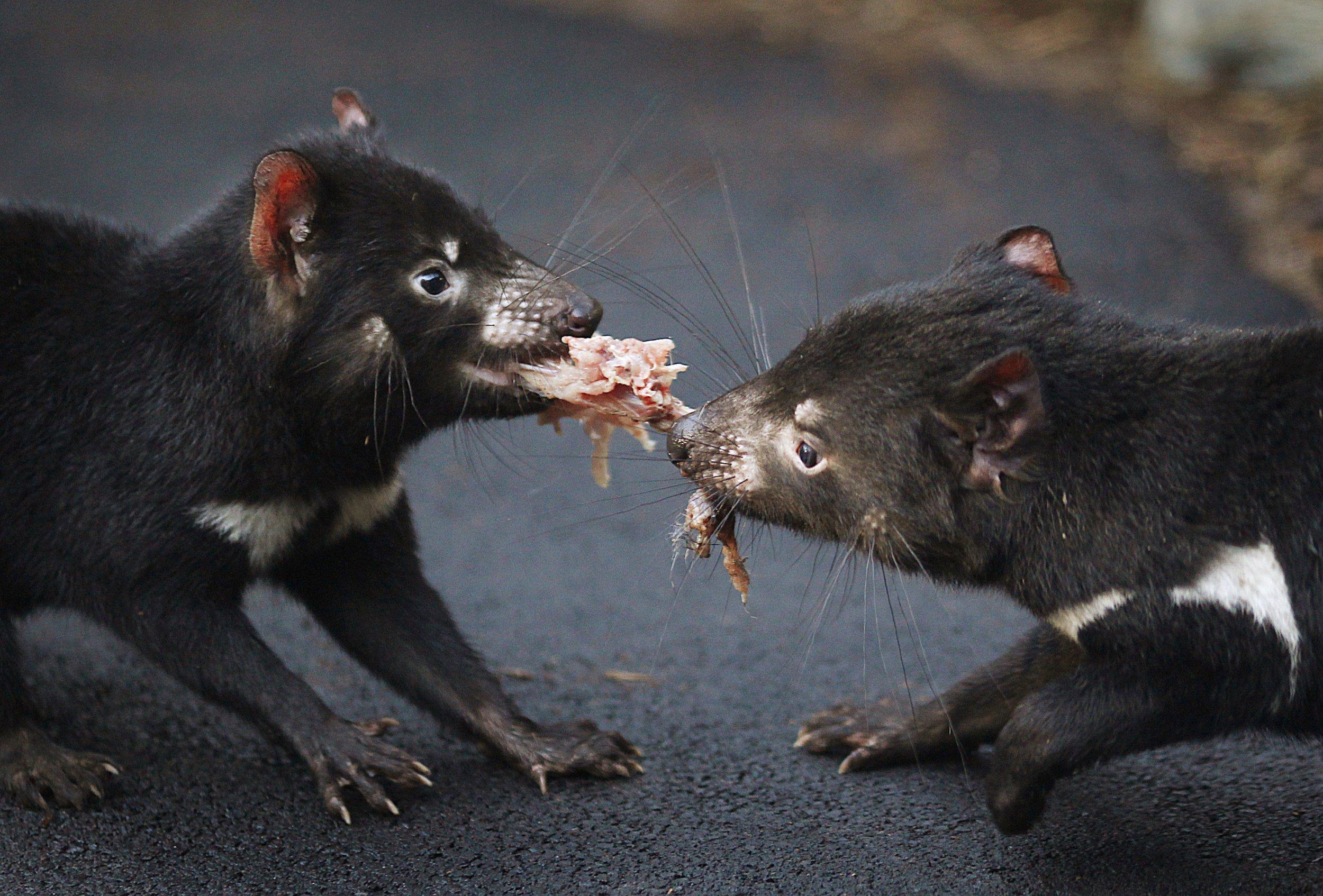 Tasmanian-devil.04Jan2015
