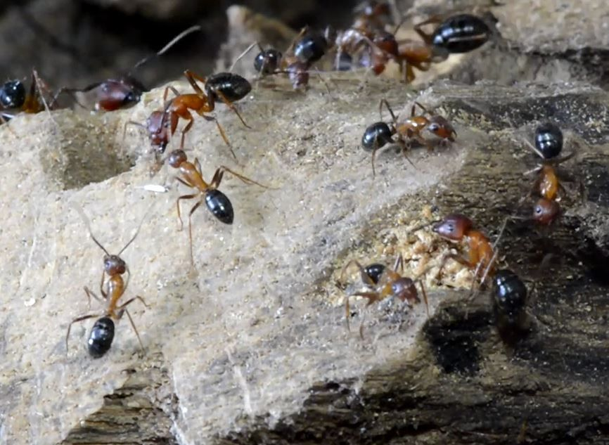 Florida-carpenter-ants