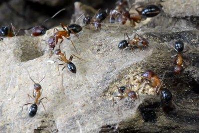 Florida-carpenter-ants