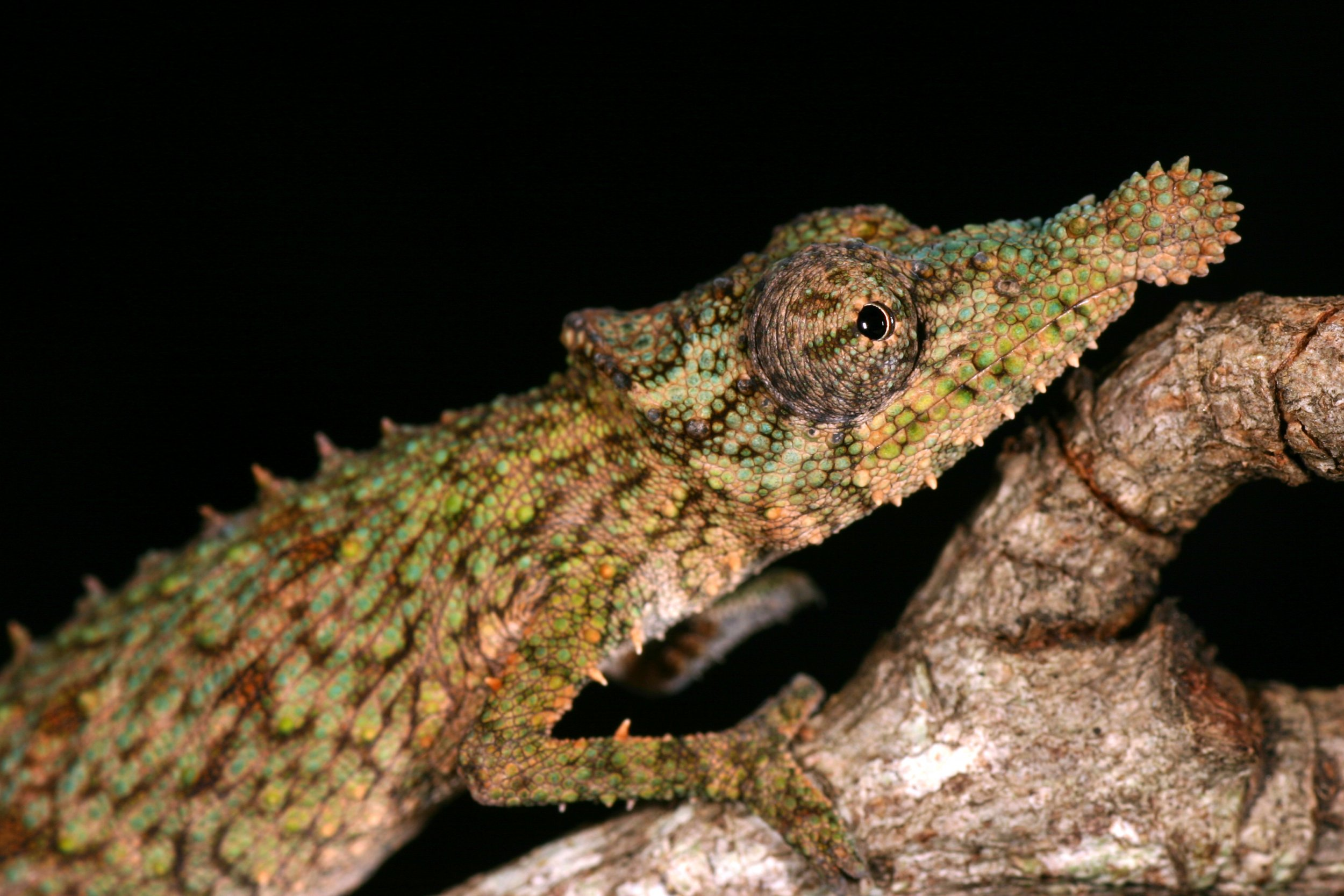 rosette-nosed-chameleon .05Jan2015