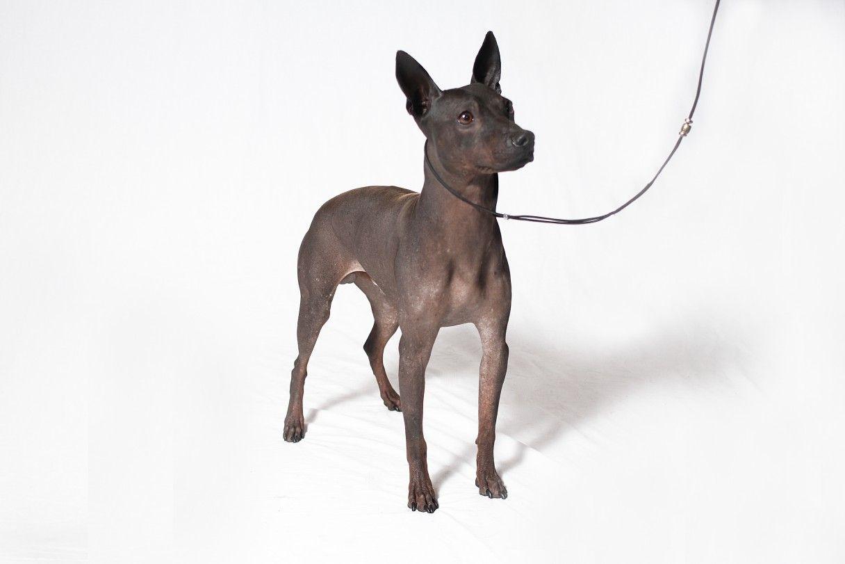1-6-16 American Hairless Terrier