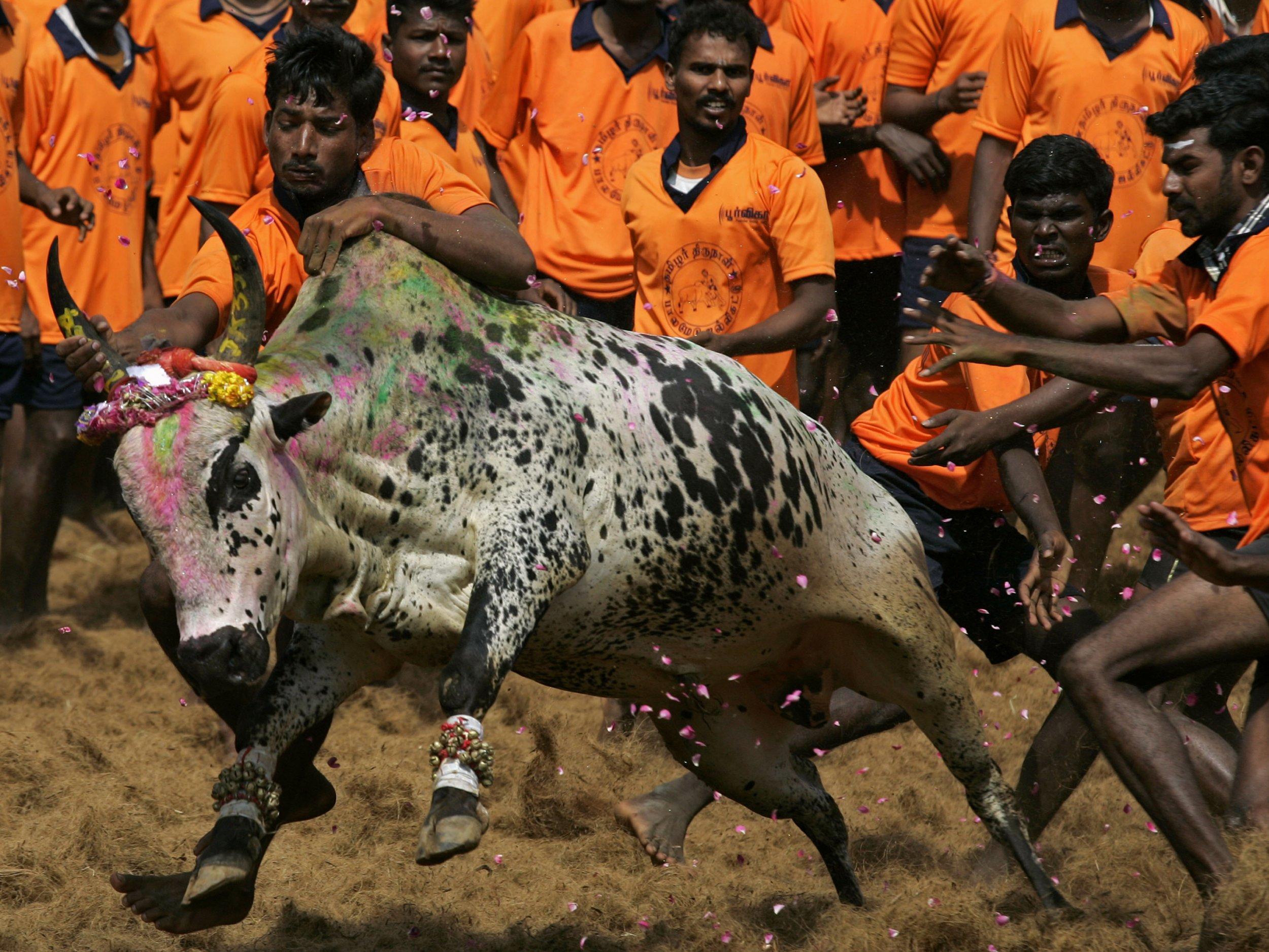 India lifts Jallikattu ban