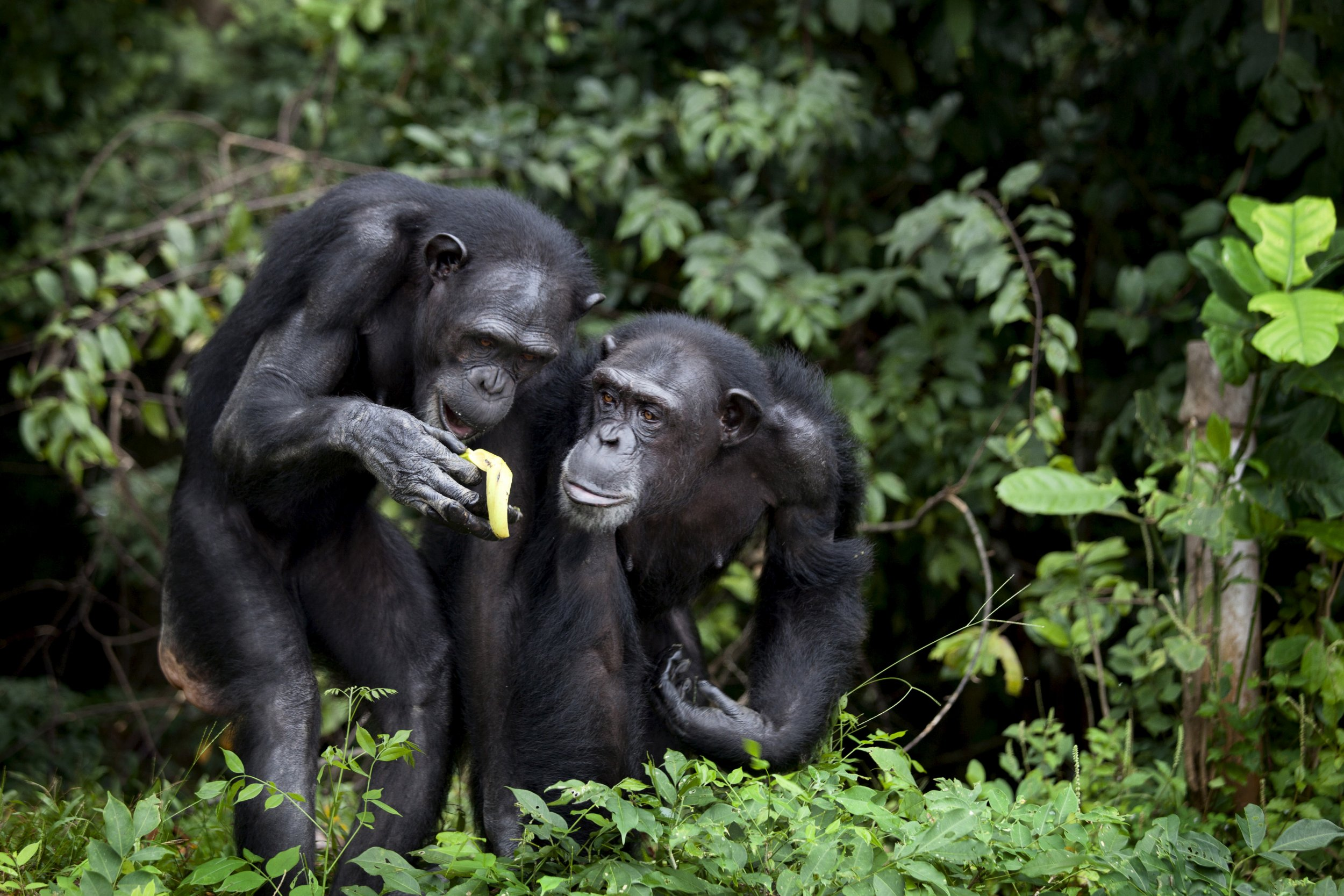 Chimpanzees.14Jan2015