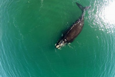 whale facial recognition endangered right