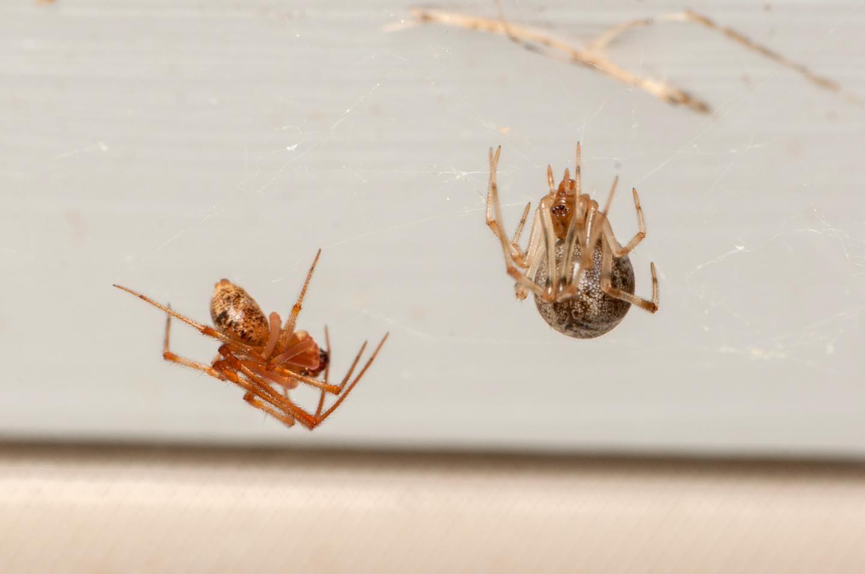 cobweb-spiders