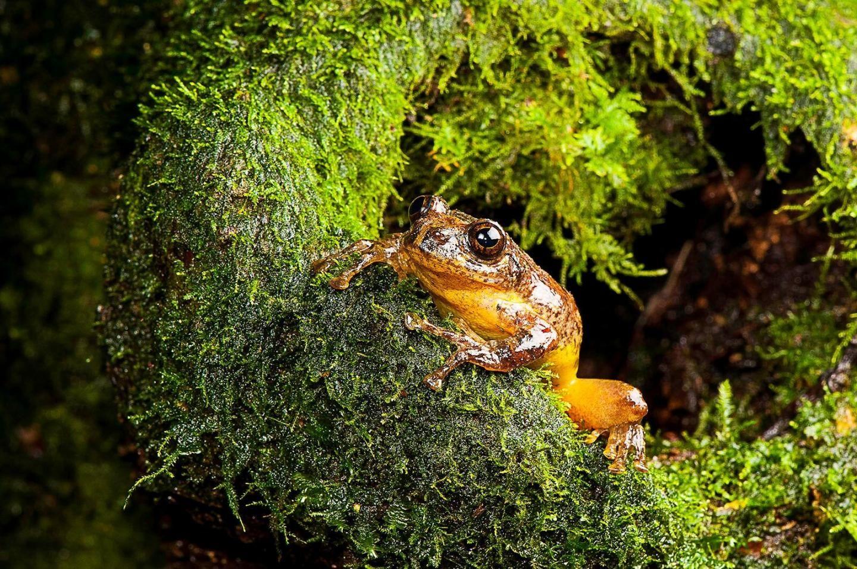 frankixalus-jerdonii-tree-frog