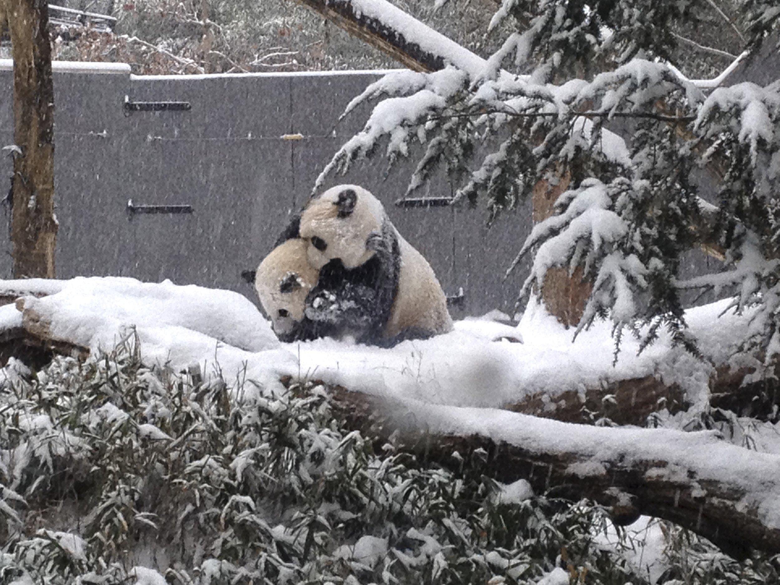 Pandas in the Snow