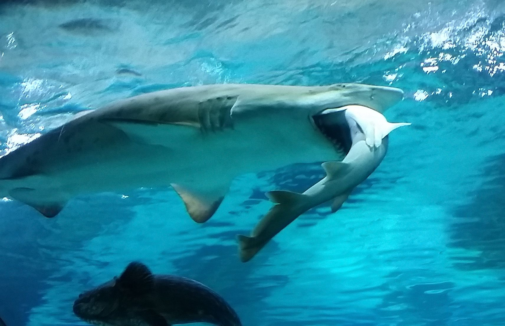 how to clean a shark to eat