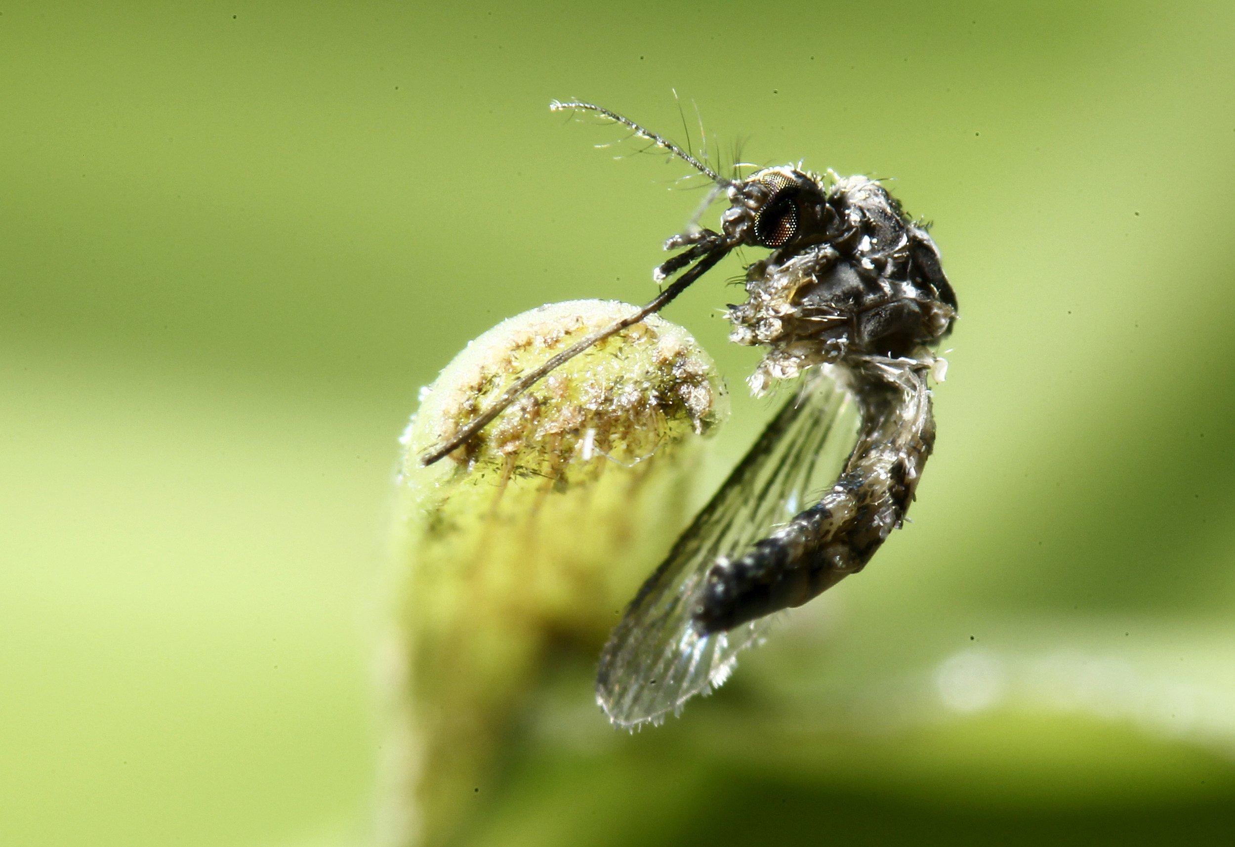 aedes aegypti mosquito zika virus