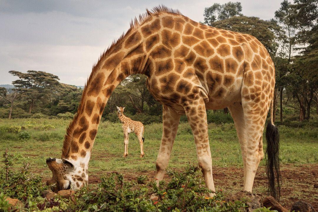 2015_GiraffeManor_Kenya_MG_0205
