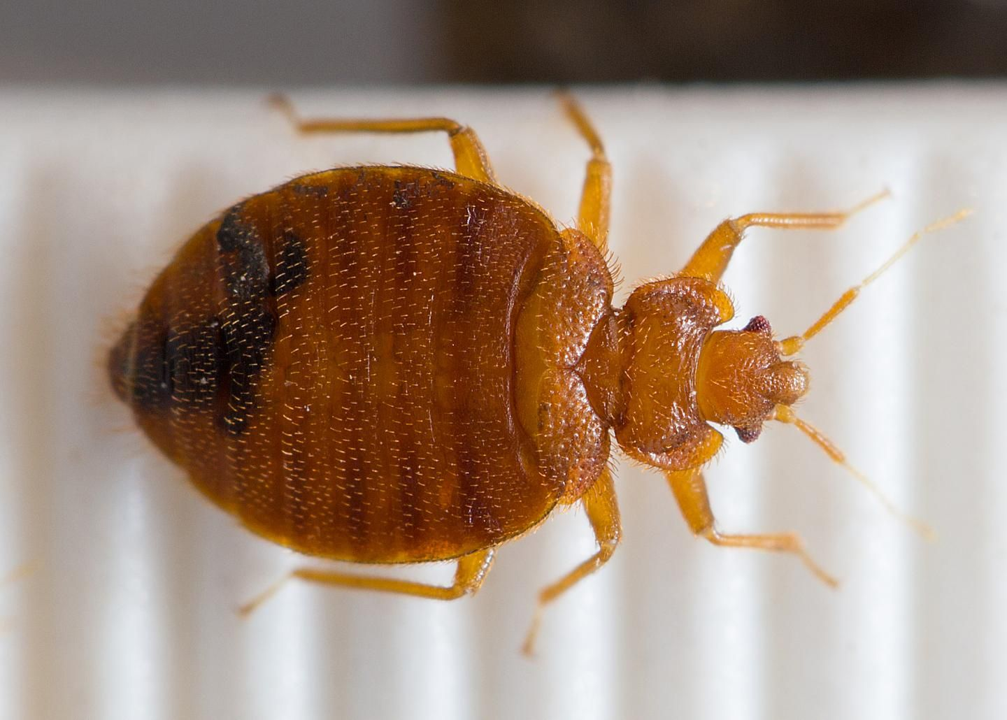 Map of Bed Bug Genome Explains Ick Factor and Some Mysteries Pictures Of Bed Bugs
