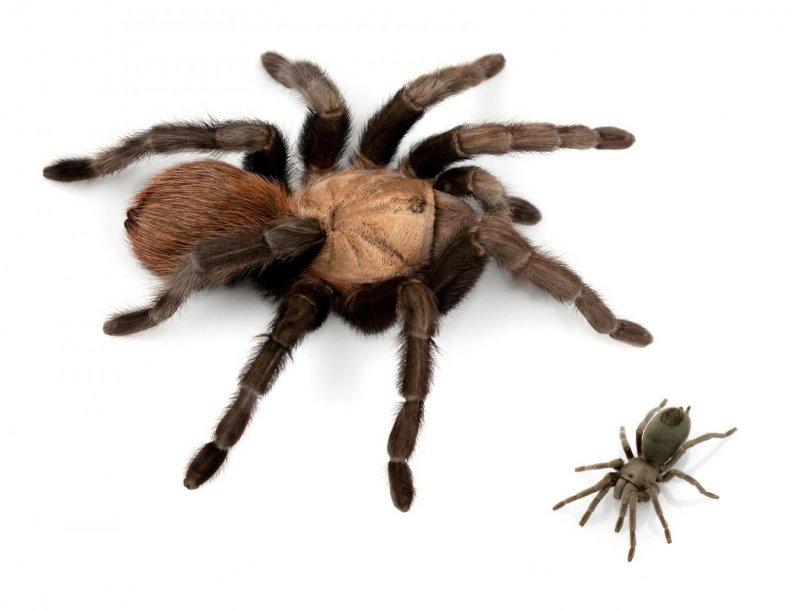 big-small-tarantula