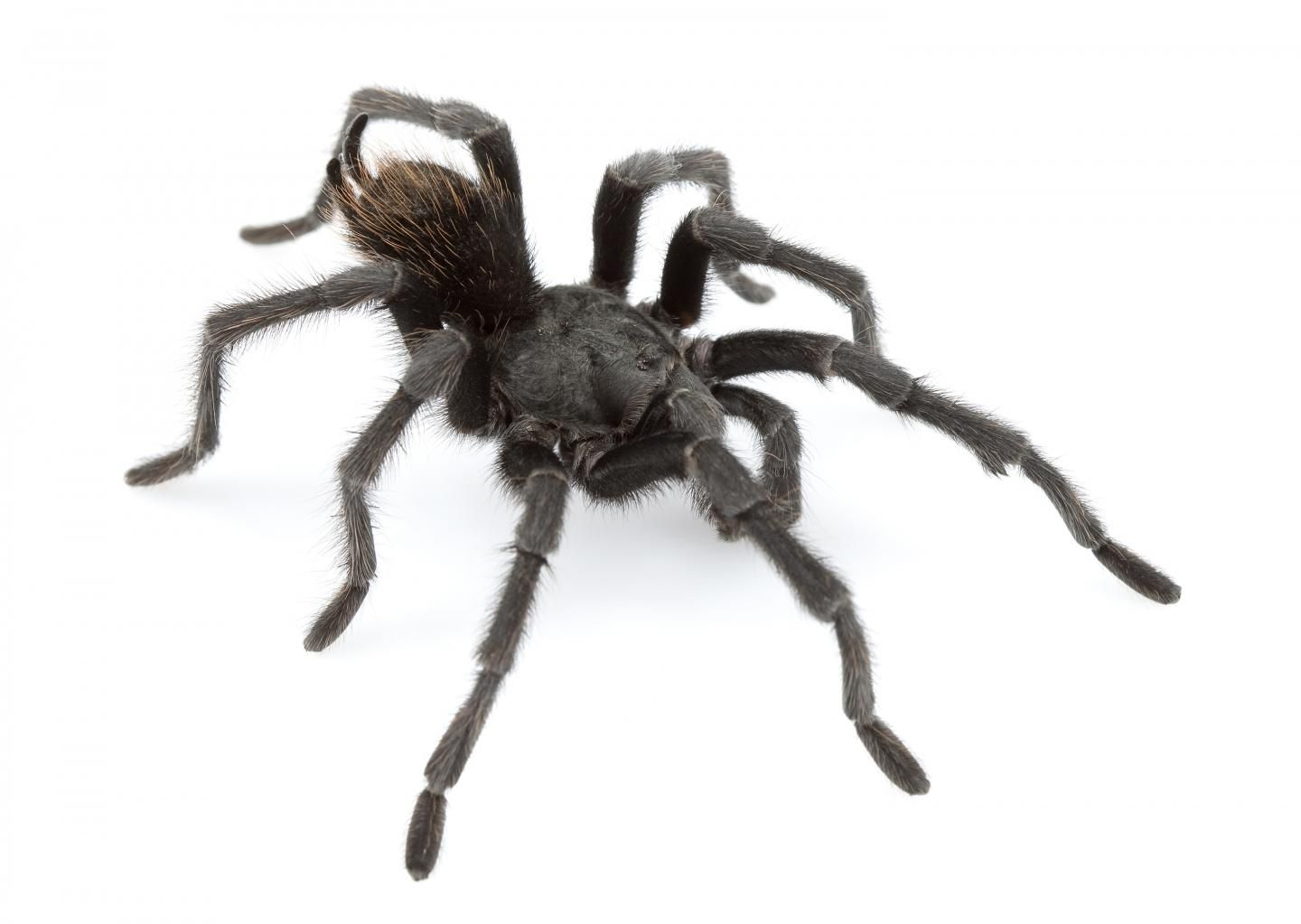 14 New Tarantula Species Found in United States