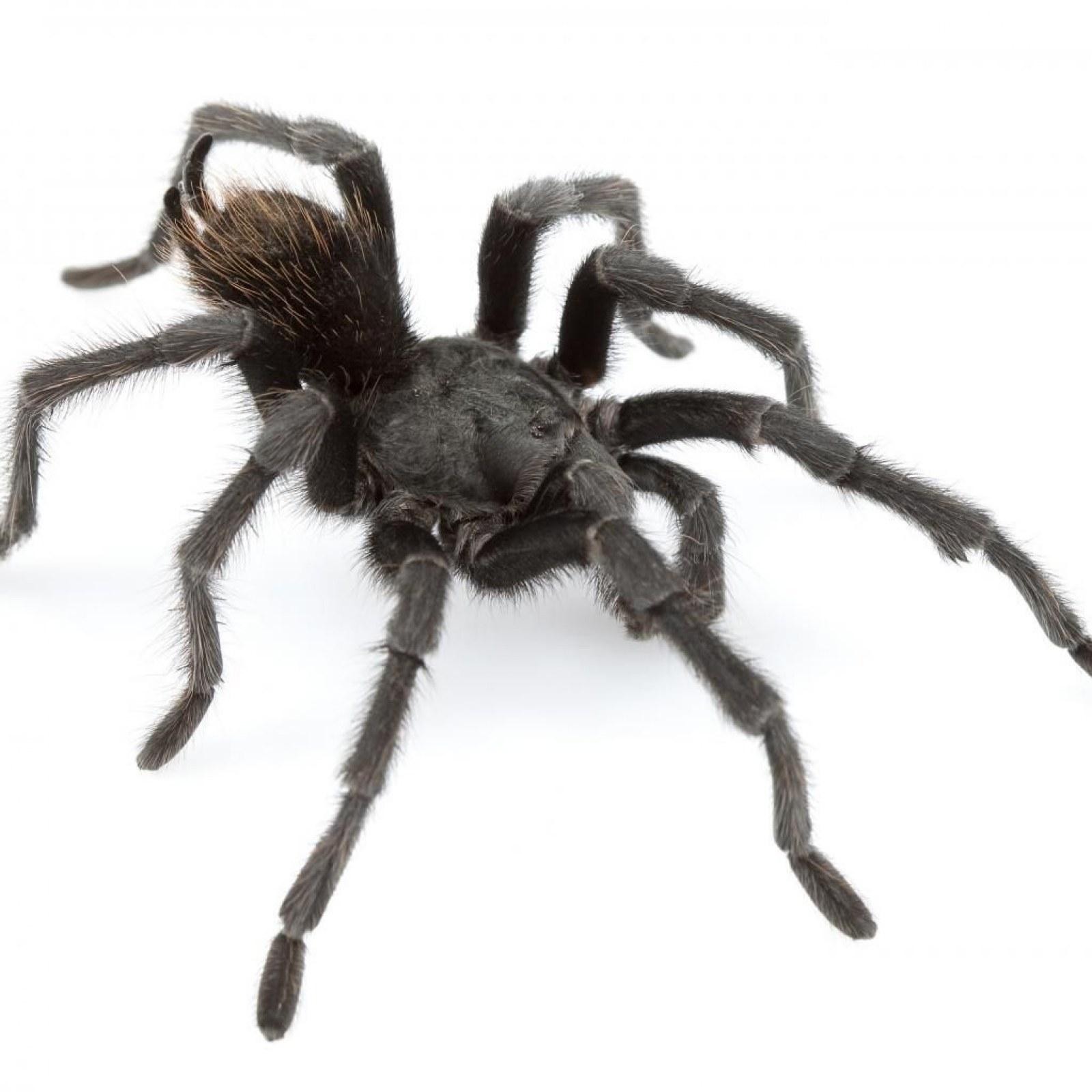 14 New Tarantula Species Found in United States