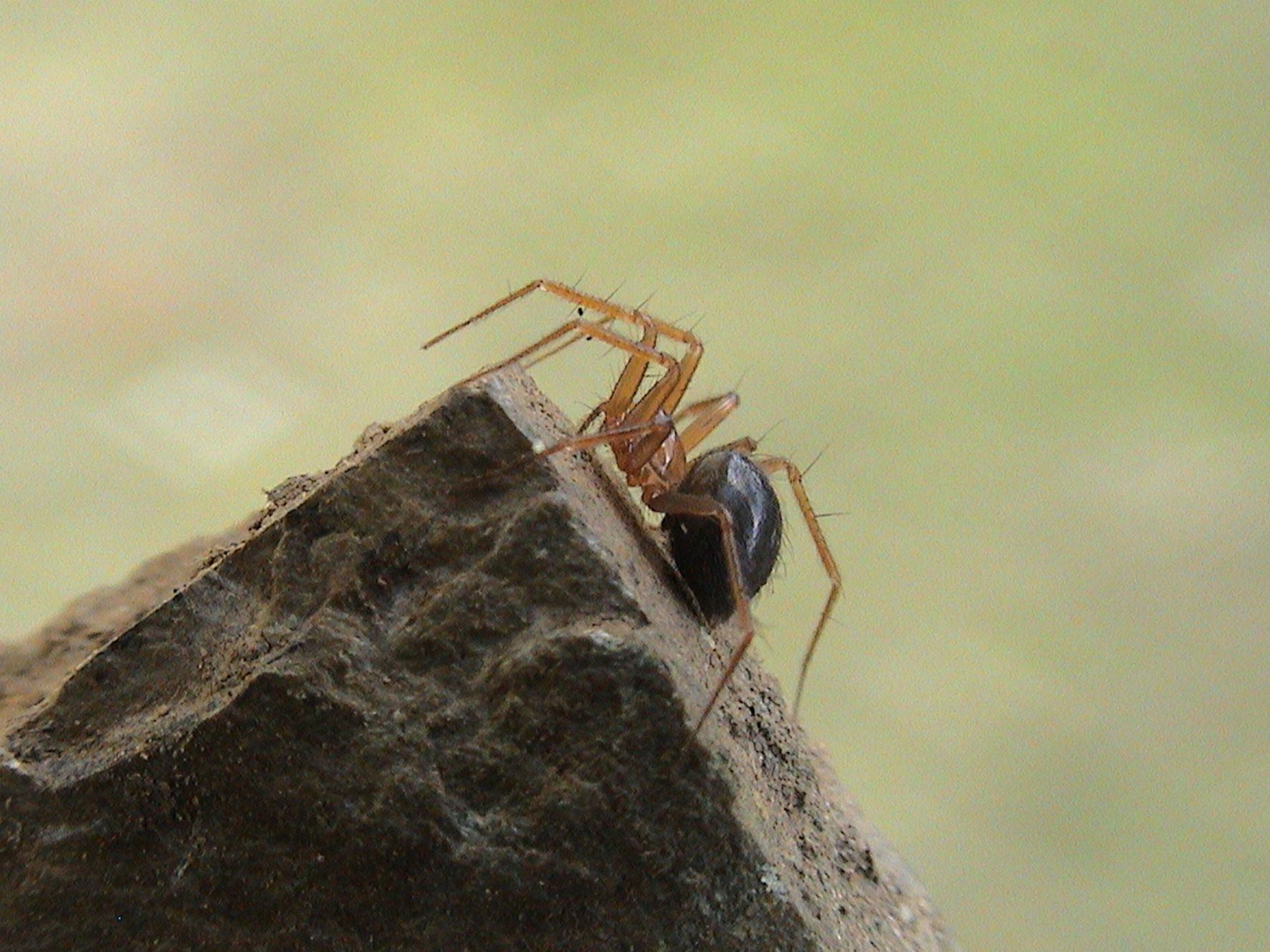 Horrid-ground-weaver-rare-spider