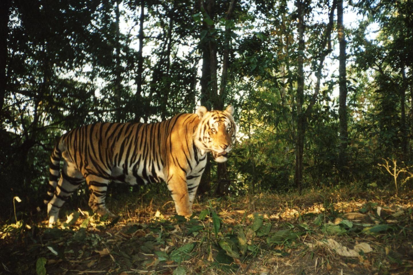 Indochina tigers making a comeback