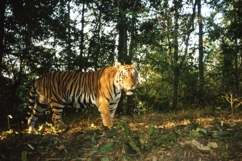 Indochina tigers making a comeback