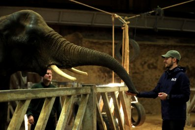 Arsenal midfielder Aaron Ramsey plays with elephants at Colchester Zoo.