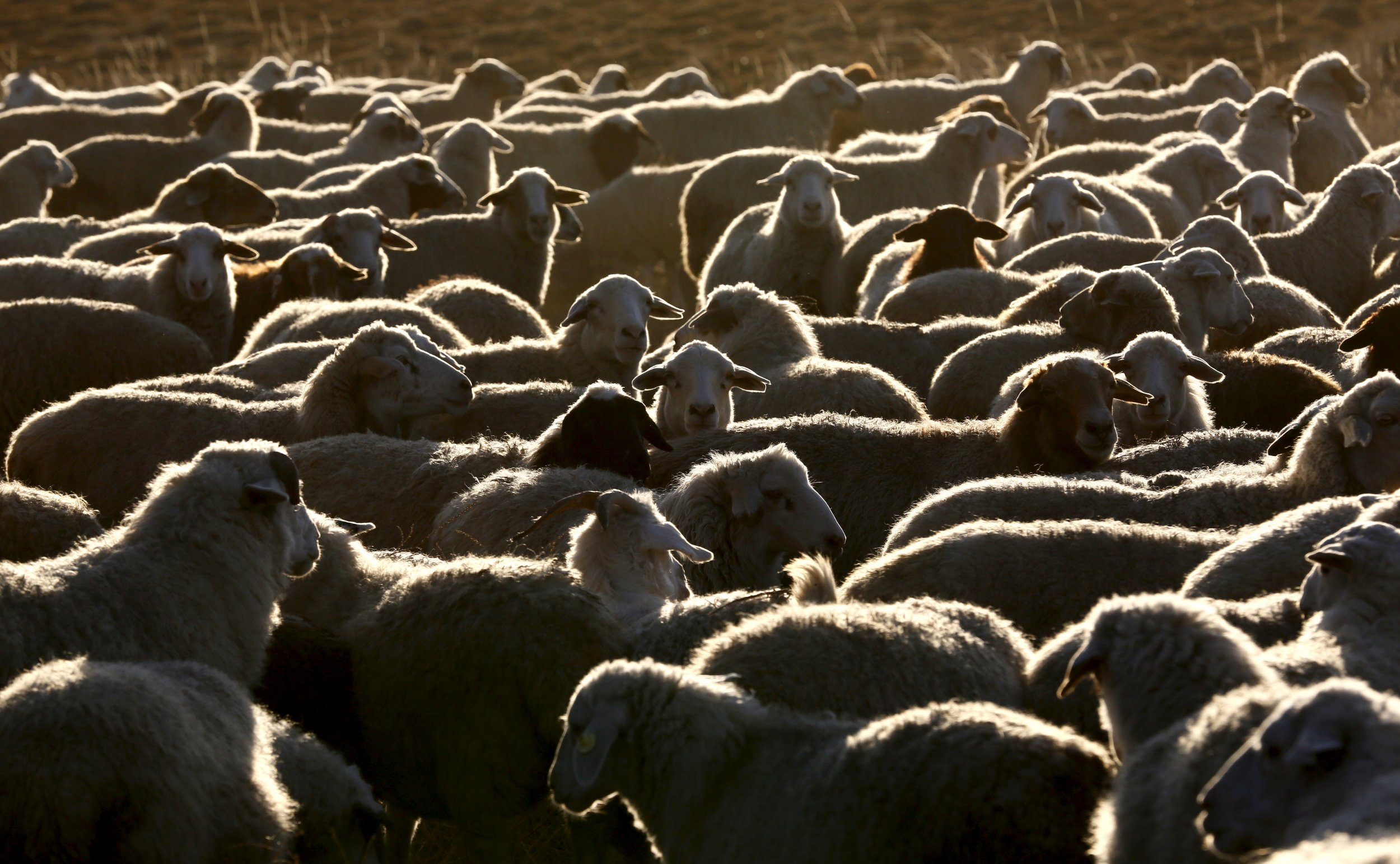 sheep-and-goat-herd-02.19.16