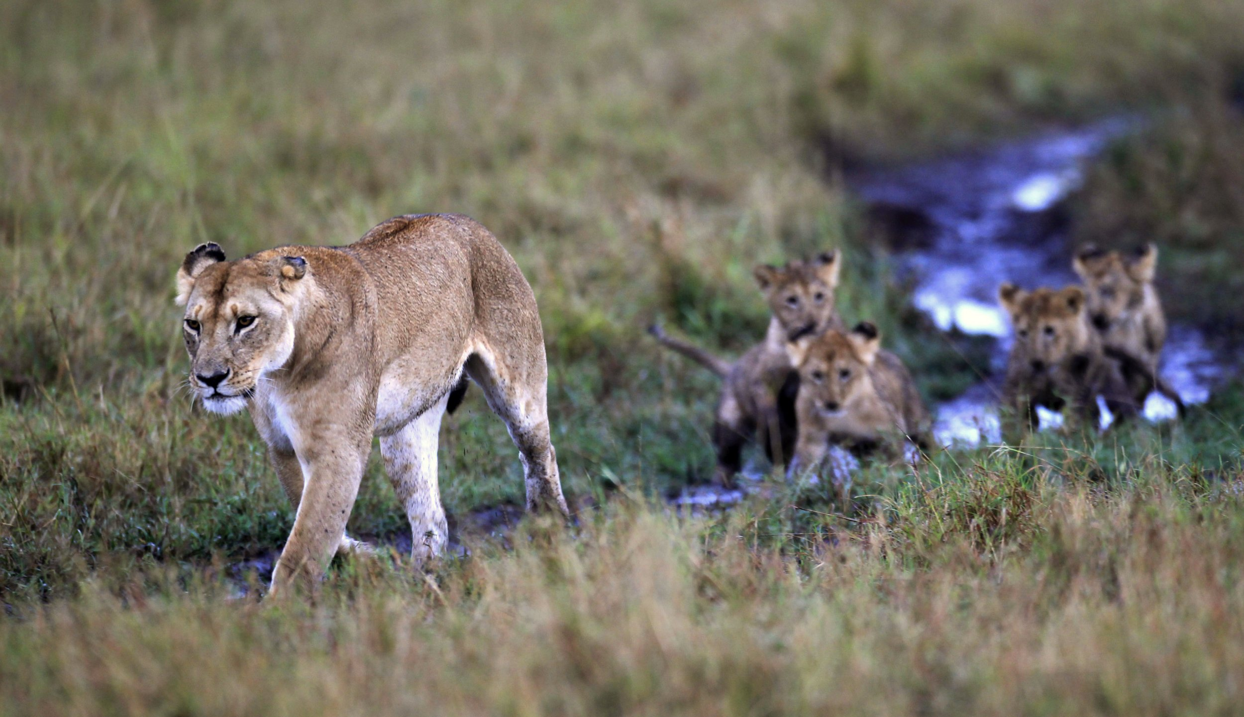 Lions_Loose_in_Kenya