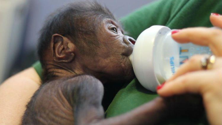 Baby Gorilla Bristol UK